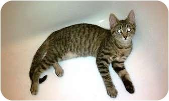 Domestic Shorthair Cat for adoption in San Ramon, California - Daisy