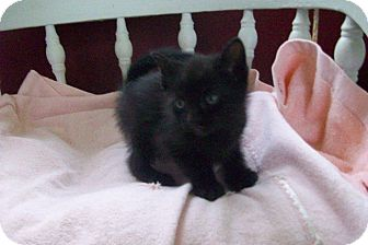 Domestic Shorthair Kitten for adoption in New Richmond, Ohio - Frosty and Blizzard