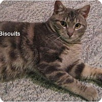 Adopt A Pet :: Biscuits - Portland, OR