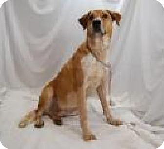 Labrador Retriever/Australian Cattle Dog Mix Dog for adoption in Jackson, Mississippi - Luther