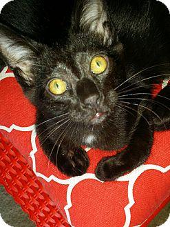 Domestic Mediumhair Kitten for adoption in Monrovia, California - White Lighting