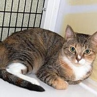 Domestic Shorthair Cat for adoption in Brainardsville, New York - Meagan