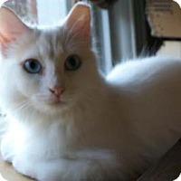 Adopt A Pet :: Shisedo - Merrifield, VA
