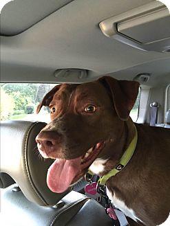 Boxer/Labrador Retriever Mix Dog for adoption in Colmar, Pennsylvania - Pheobe