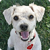 Adopt A Pet :: Radley - I do not shed! - Yorba Linda, CA