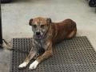 German Shepherd Dog/Boxer Mix Dog for adoption in Flintstone, Maryland - Zeus