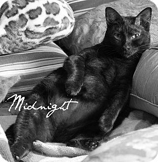 Bombay Cat for adoption in McKinney, Texas - Midnight