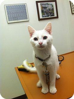 Domestic Shorthair Cat for adoption in Houston, Texas - SVEN