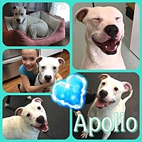 Adopt A Pet :: Apollo - Louisiana, MO