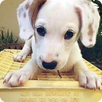 Adopt A Pet :: Jet - Pennigton, NJ