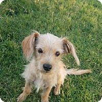 Adopt A Pet :: Jack - Dallas, TX