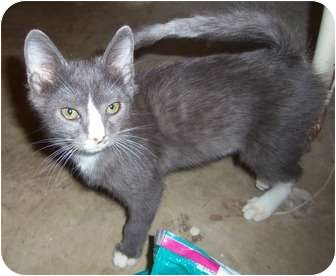 Colorpoint Shorthair Kitten for adoption in Orlando, Florida - Smokey