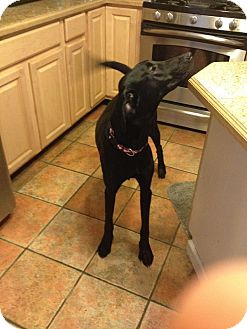 Great Dane/Greyhound Mix Puppy for adoption in Baden, Pennsylvania - Jake