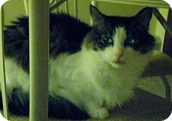 Maine Coon Cat for adoption in Blairstown, New Jersey - CP - NJ - Noble Noah