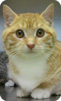 Domestic Shorthair Kitten for adoption in Richboro, Pennsylvania - Dick Van Dyke