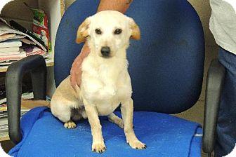 Dachshund/Labrador Retriever Mix Dog for adoption in Nanuet, New York - snoopy