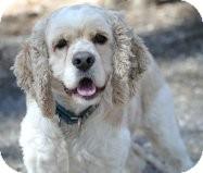 Cocker Spaniel Mix Dog for adoption in Tinton Falls, New Jersey - Alfie