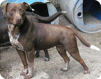 Labrador Retriever/American Pit Bull Terrier Mix Dog for adoption in Tahlequah, Oklahoma - Haddie