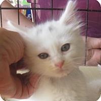 Adopt A Pet :: Snowball - Dallas, TX