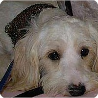 Adopt A Pet :: 2 little white dogs - Lucerne Valley, CA