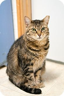 Domestic Shorthair Cat for adoption in Chicago, Illinois - Christian