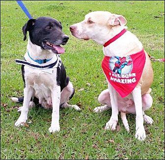 Labrador Retriever Mix Dog for adoption in Simsbury, Connecticut - Larson