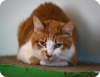 Domestic Shorthair Cat for adoption in Chicago, Illinois - Tony