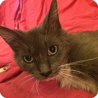 Domestic Mediumhair Cat for adoption in Rochester, Michigan - Holly