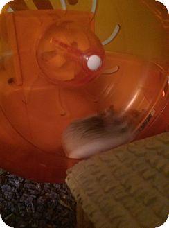 Hamster for adoption in Edmonton, Alberta - Tonka
