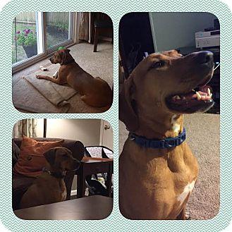 Labrador Retriever Mix Dog for adoption in North Brunswick, New Jersey - Dancer