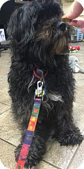Terrier (Unknown Type, Medium)/Poodle (Miniature) Mix Dog for adoption in West Des Moines, Iowa - Jon Jon