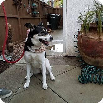 Border Collie Mix Dog for adoption in Hawthorne, California - Katara
