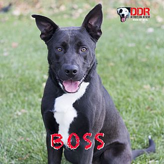 Shepherd (Unknown Type) Mix Dog for adoption in St. Clair Shores, Michigan - Boss