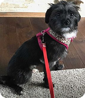 Cairn Terrier Mix Dog for adoption in Mount Mourne, North Carolina - Sasha