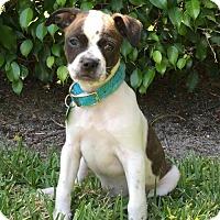Adopt A Pet :: M Pup 3 - Royal Palm Beach, FL