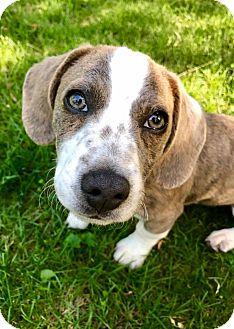 Dachshund Mix Puppy for adoption in Washington, D.C. - Willis (RBF)