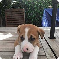 Adopt A Pet :: Perry - Livermore, CA