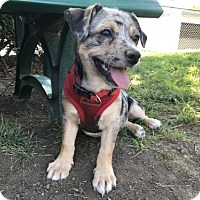 Terrier (Unknown Type, Medium) Mix Puppy for adoption in Riverside, California - Pepper
