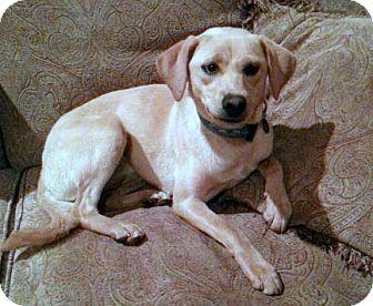 Labrador Retriever/Terrier (Unknown Type, Medium) Mix Dog for adoption in Baton Rouge, Louisiana - Ally Oop