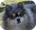 Pomeranian Dog for adoption in Tinton Falls, New Jersey - Mocha