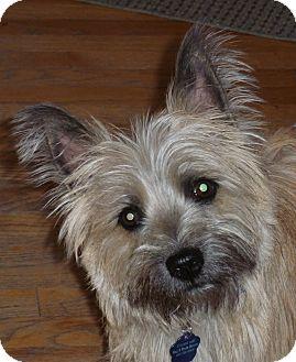 Cairn Terrier Dog for adoption in Omaha, Nebraska - Mac-pending adoption