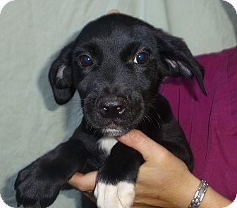 Labrador Retriever/Golden Retriever Mix Puppy for adoption in Oviedo, Florida - Lon
