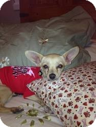 Chihuahua Mix Puppy for adoption in Las Vegas, Nevada - Racer