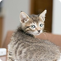 Adopt A Pet :: Baron - Fountain Hills, AZ
