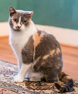 Calico Cat for adoption in Houston, Texas - Julie