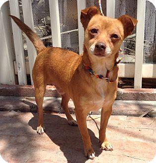 Dachshund/Rat Terrier Mix Dog for adoption in Santa Ana, California - Remus (BH)