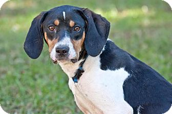 Treeing Walker Coonhound/Beagle Mix Dog for adoption in Cashiers, North Carolina - Snoopy