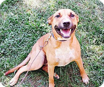 Black Mouth Cur/Terrier (Unknown Type, Medium) Mix Dog for adoption in Goodlettsville, Tennessee - Annie