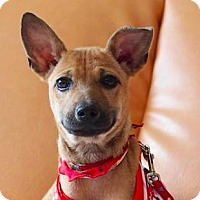 Terrier (Unknown Type, Medium) Mix Puppy for adoption in San Ramon, California - Tracy