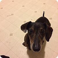 Adopt A Pet :: Buddy (2017) - Rochester, MN